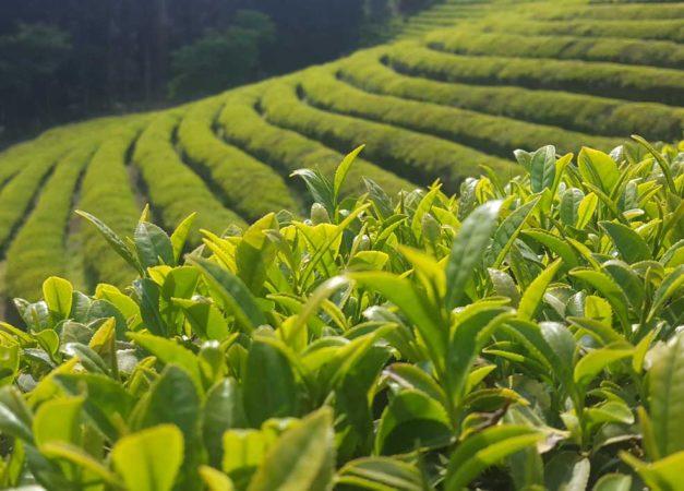 Boseong_Green_Tea_Field_in_summer_2017